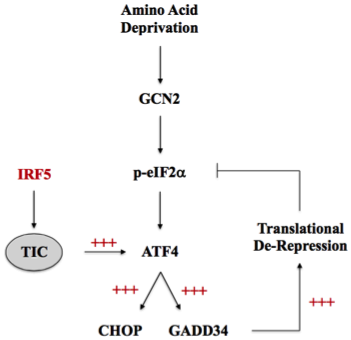 Exploring the Regulatory Functions of IRF5